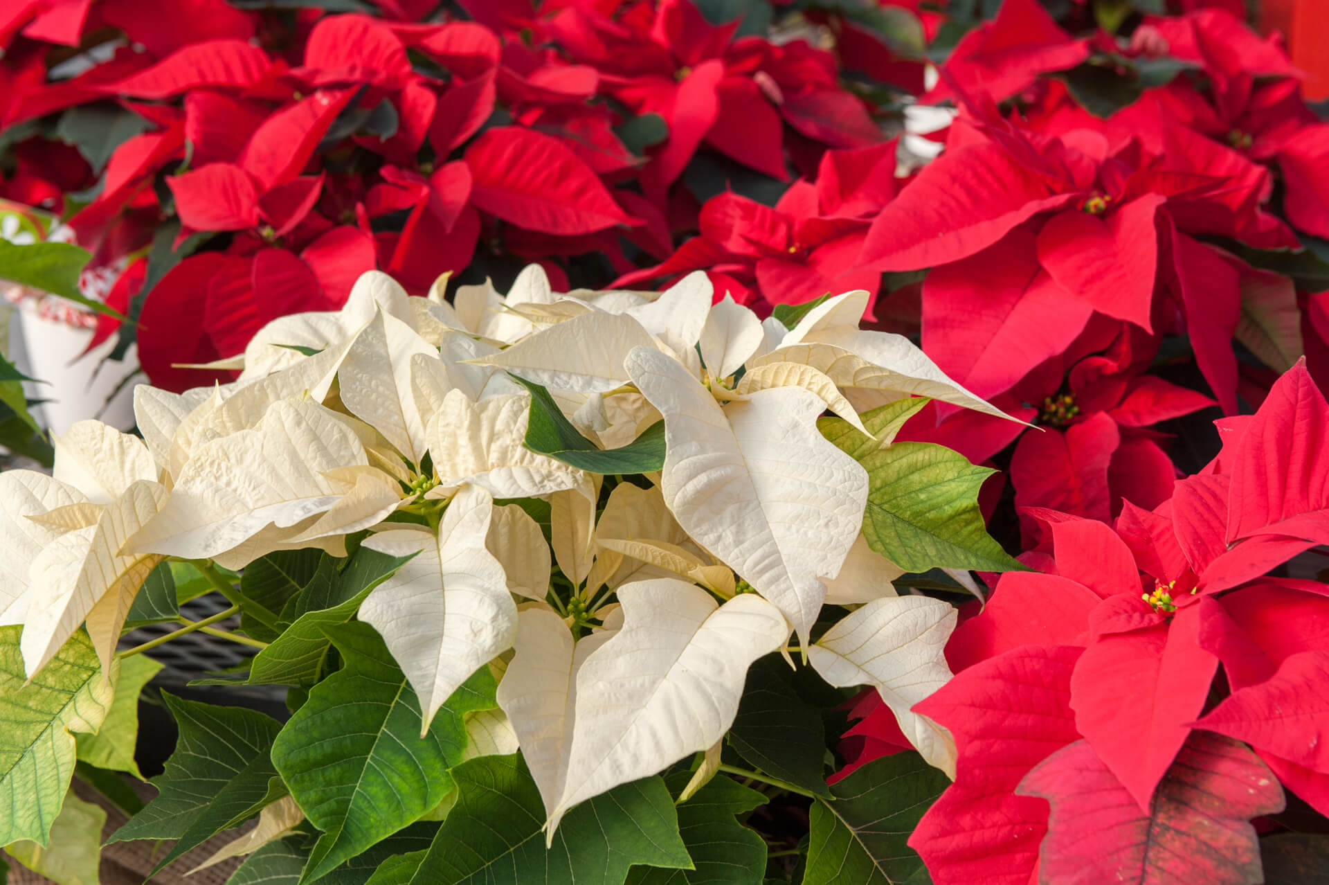 Poinsettia Plant Care Tips Growing Tips Jolly Lane Greenhouse